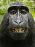 Wikimedia holds vote to determine the fate of the famous monkey selfie