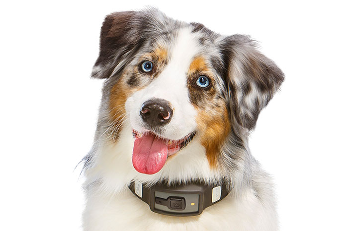 The Voyce collar is a health, wellness, and activity tracker that fits loosely around your dog. (Image source: Voyce.)