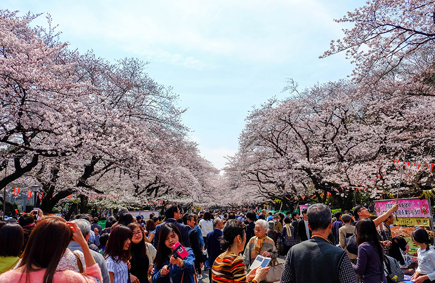 The blooming of cherry blossoms marks the beginning of spring in Japan.