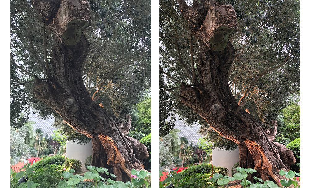 The tree in the iPhone 7 Plus HDR shot (left) looks flat, while the tree in the iPhone 8 Plus HDR shot (right) has more contrast and looks more vibrant.