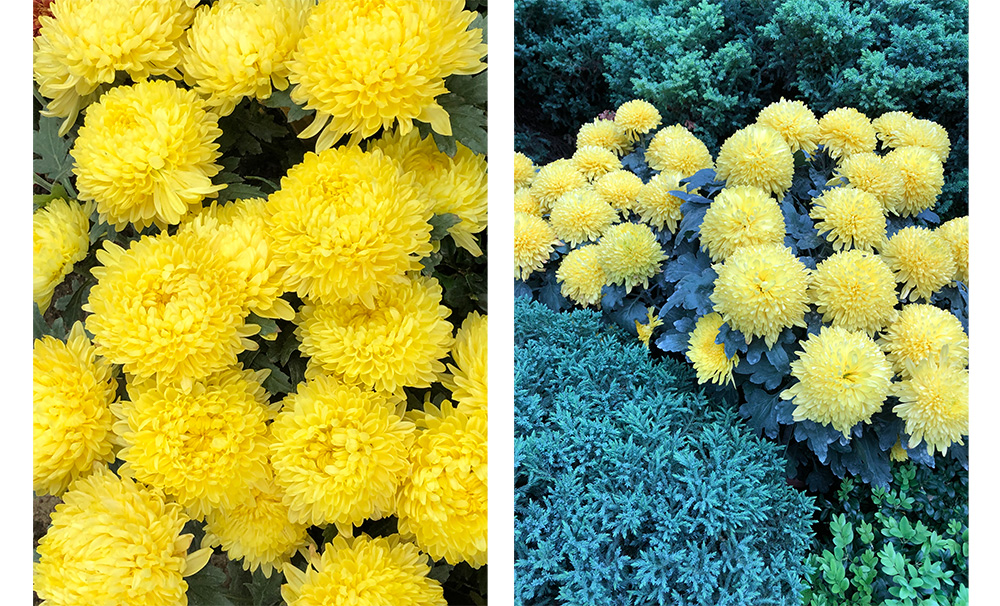 The yellows are captured beautifully in the left image, but when at another angle the iPhones 8 shifted the hues to blue-green for some reason. This effect was repeatable.