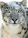 The Snow Leopard Cometh